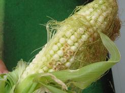 corn0714-03.jpg