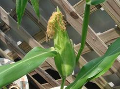 corn0717-02.jpg