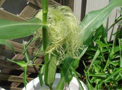 corn0717-04.jpg