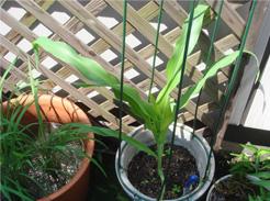 corn080613-1.jpg