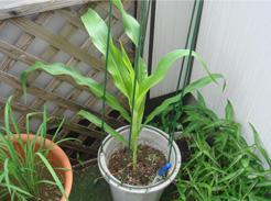 corn080618-1.jpg