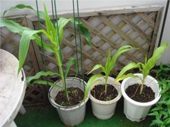 corn080625-1.jpg