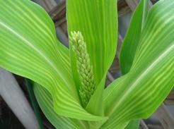 corn080625-2.jpg