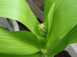 corn080627-3.jpg