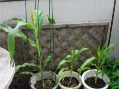 corn080701-1.jpg