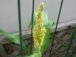 corn080701-2.jpg