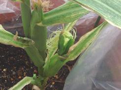 corn080726A-02.jpg