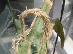 corn080726A-03.jpg