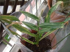 corn080726B-01.jpg