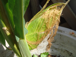 corn0808-02.jpg