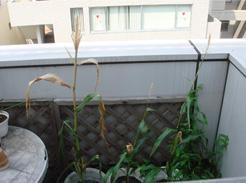 corn080811-01.jpg