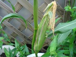 corn080811-03.jpg
