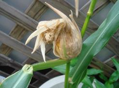 corn080811-04.jpg