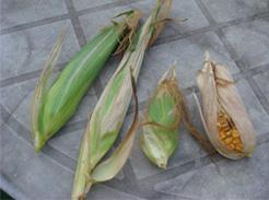 corn080811-05.jpg