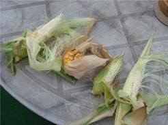 corn080811-06.jpg