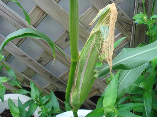 corn080811-TOP.jpg