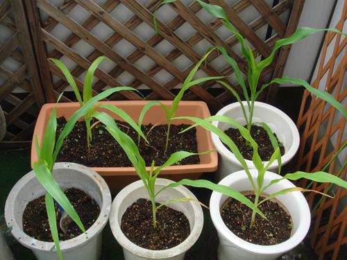 corn090710-01.jpg