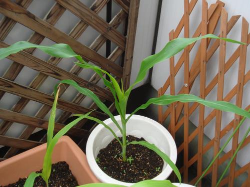 corn090710-02.jpg