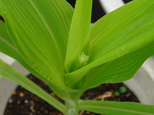 corn090717-2.jpg