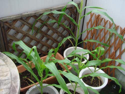 corn090724-1.jpg