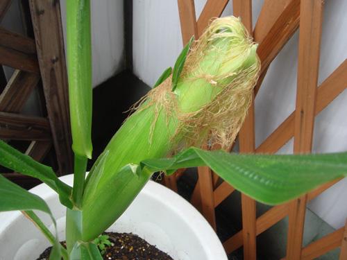 corn090811-4.jpg