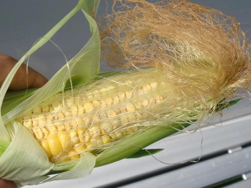 corn090820-4.jpg