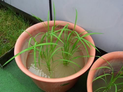 バケツ稲2010