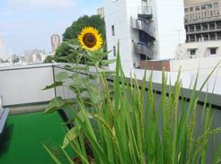 office_sunflower02.jpg