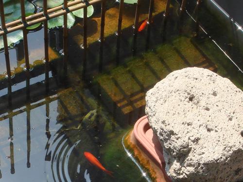 081115Goldfish01.jpg