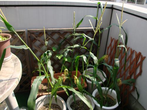 corn090820-1.jpg