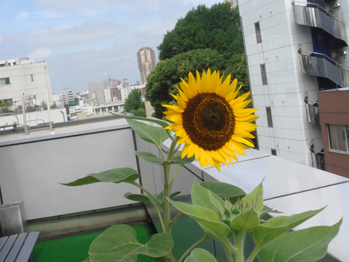 office_sunflower01.jpg